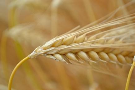 56.cornfield