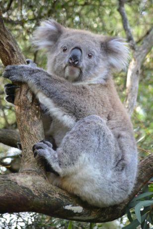 73.koala
