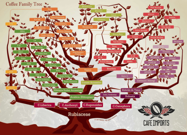 Cafe Imports - Coffee Variety Family Tree
