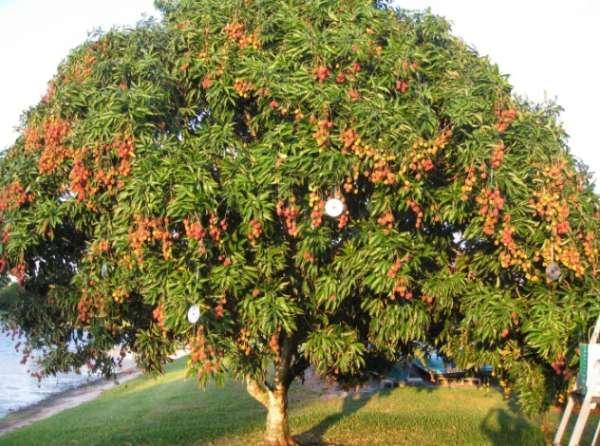 Tree Lycha