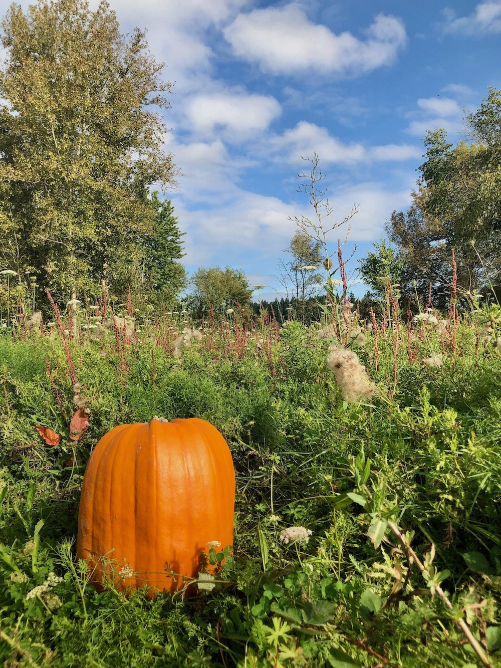 giant pumpkin in field - zero waste halloween