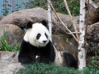 The pandas are the stars of the show and they know it!