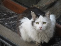 Cat sitting outside a shop looking at the camera