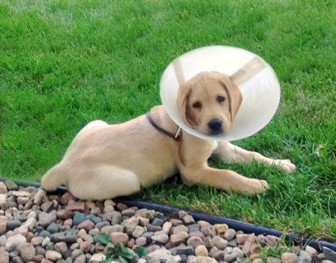 Chance has to wear a cone - stitches from neutering