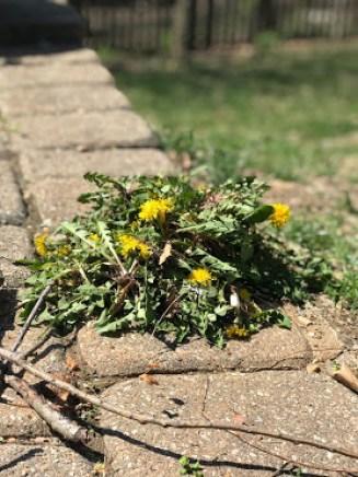 dandelion pile