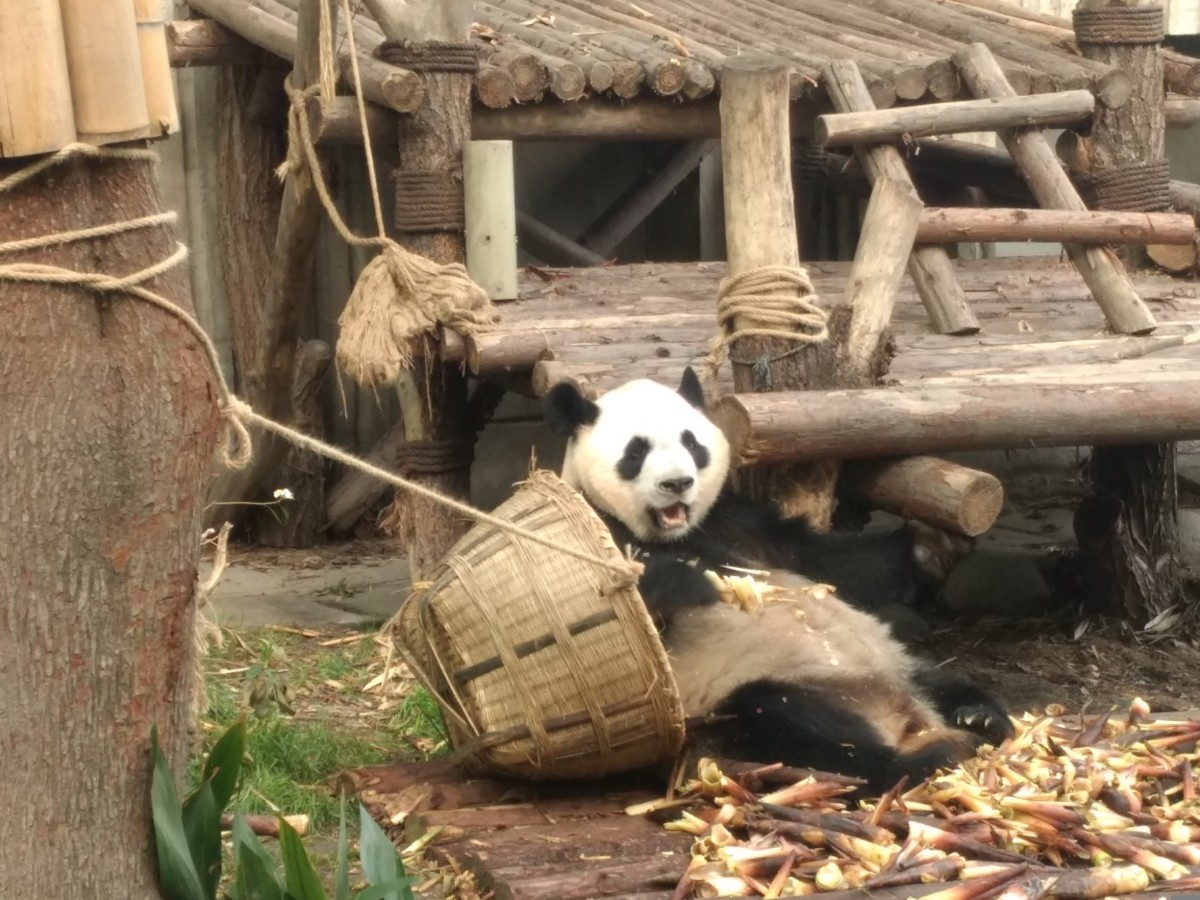 Visiting the Giant Panda Research Centre, Chengdu - Frugal Travellers