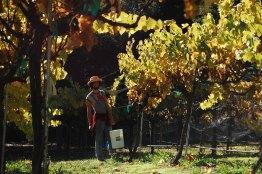 grape-harvest_2