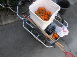 persimmons_3