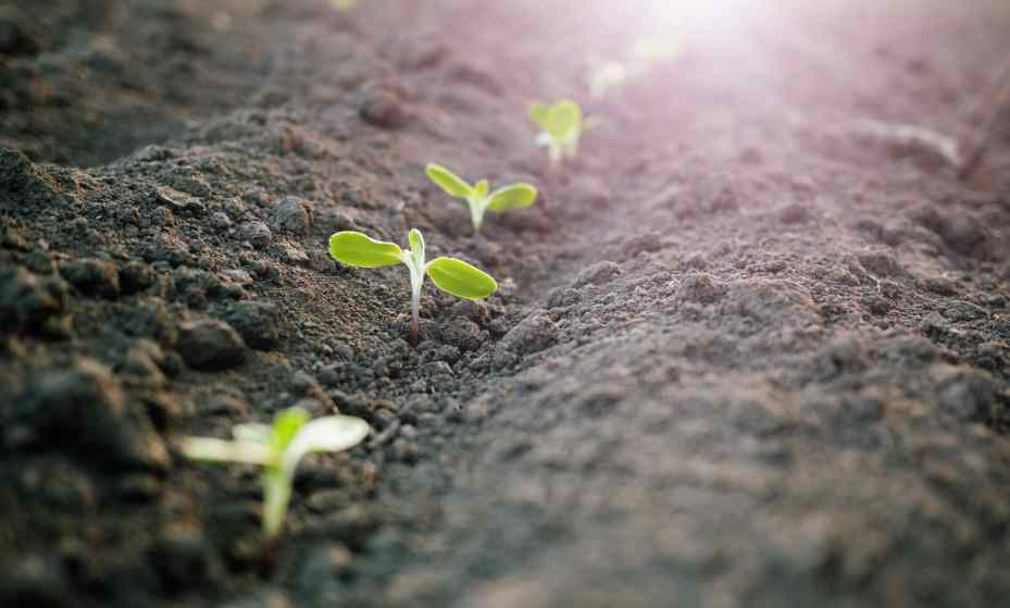 Young plants sprouting from the soil through the use of chemical fertilizers