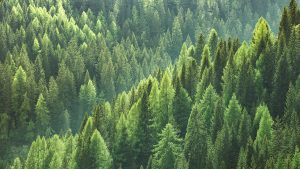 Green Pine Tree Thickets in Forest
