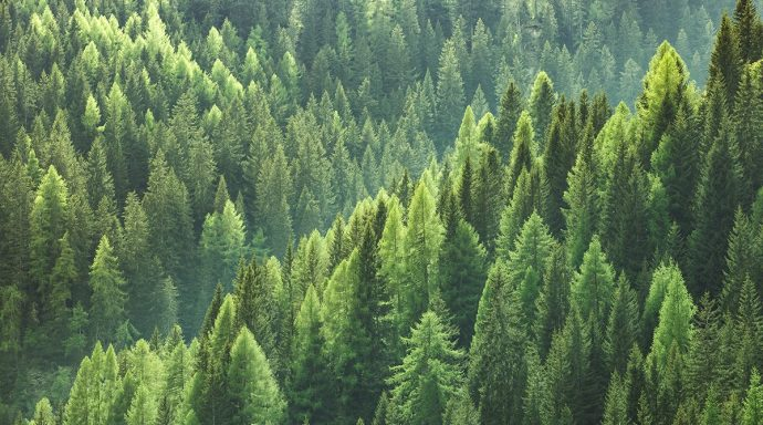 Mature Forest View Aerial Showing Evergreen Trees