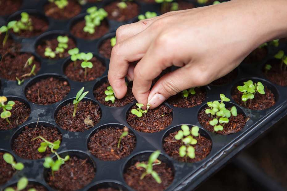 Fingers holding potted seedlings