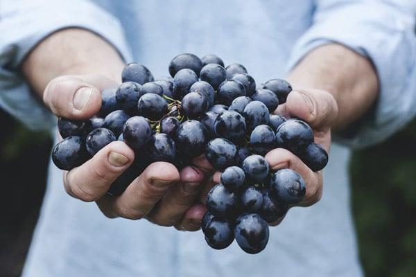 Hands holding blue grapes towards camera