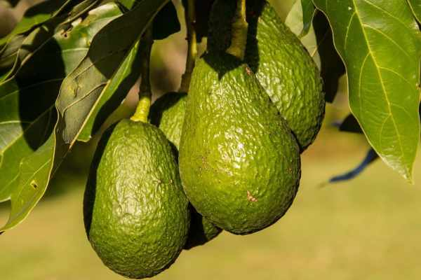 A group of ripe green Hass avocados hanging from a tree.