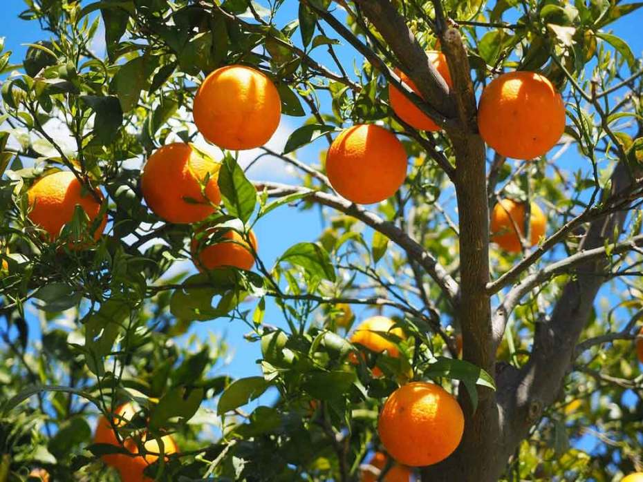 Oranges growing on a citrus tree.