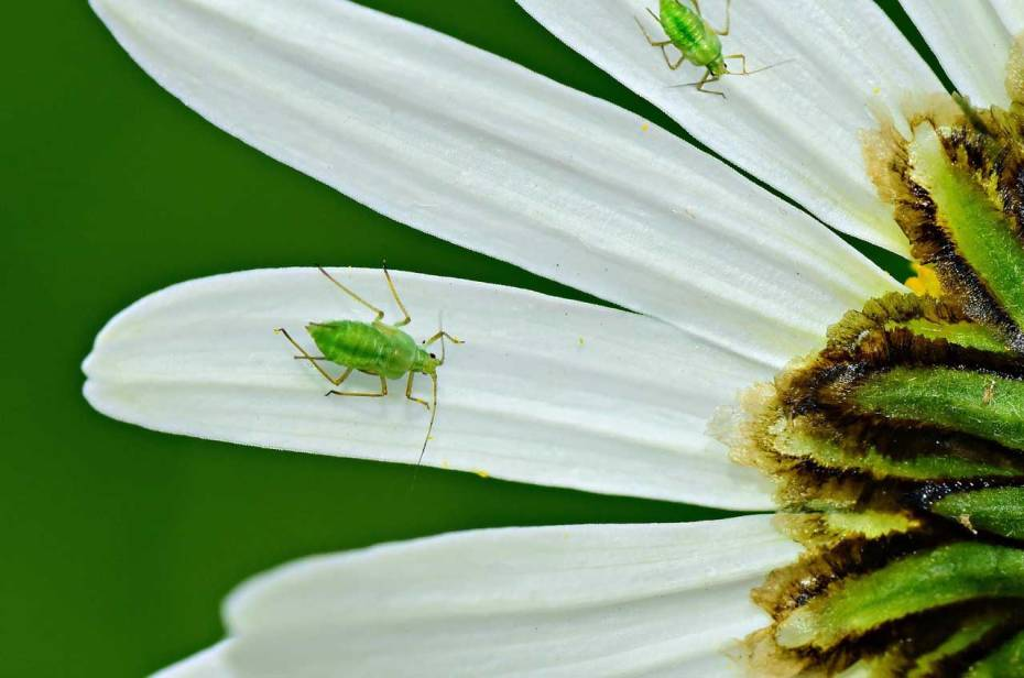 Aphids are some of the most common fruit pests.