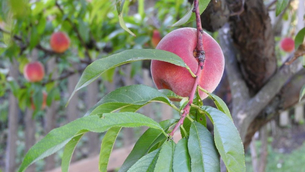 A mature peach on a tree, unaffected by stone fruit diseases.