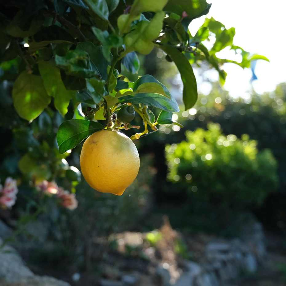 A large yellow lemon on the tree in the daytime
