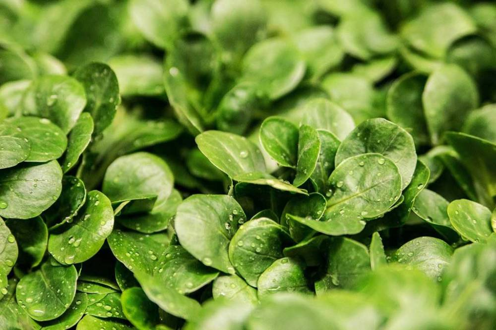Green lamb's lettuce with small droplets of water.