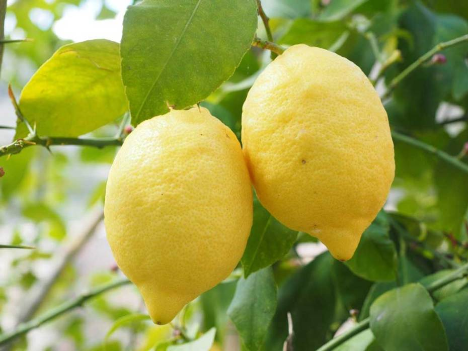 Two large yellow lemons on the tree in the daytime.