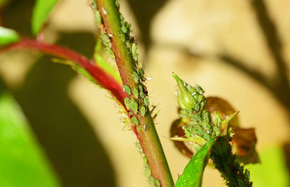 Aphids on a green stalk.