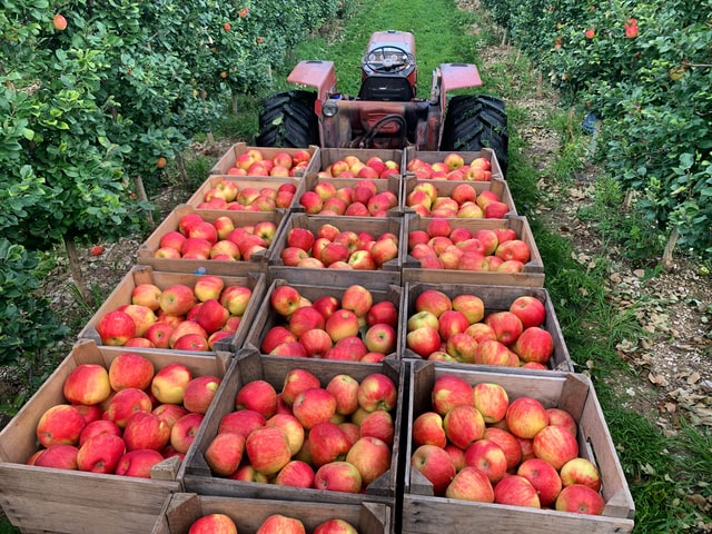 Boxes of apples on a tractor-pulled bin cart in the daytime.