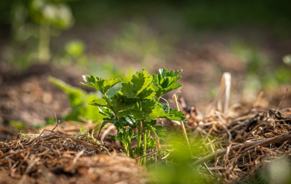 Celery planted in a mulched bed.