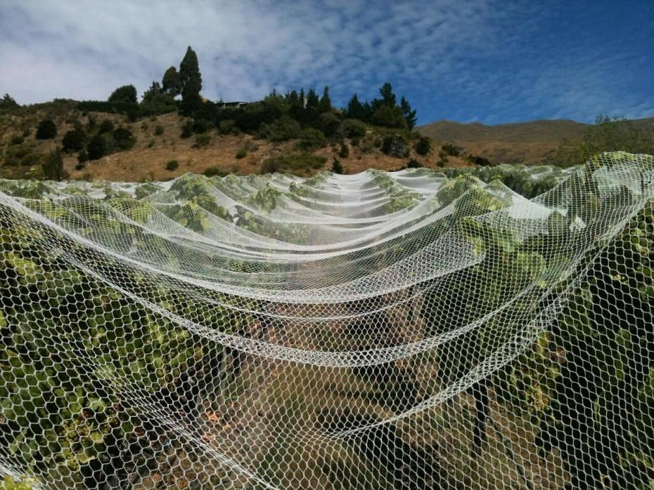 Grapevines covered by netting during the daytime