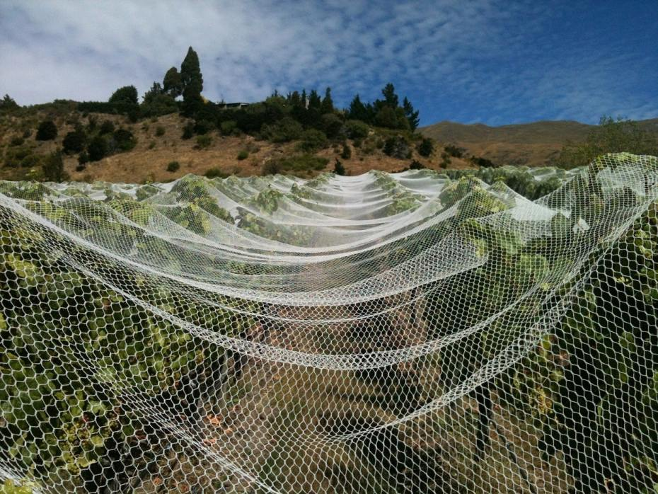 Grapevines covered by netting during the daytime.