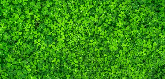 A patch of green clover.