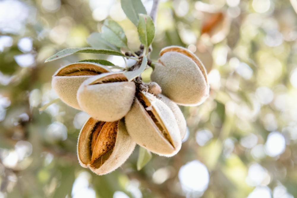 Photo of almonds bursting out of their shells