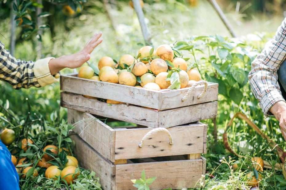 Citrus in an orange crate placed in an orange garden