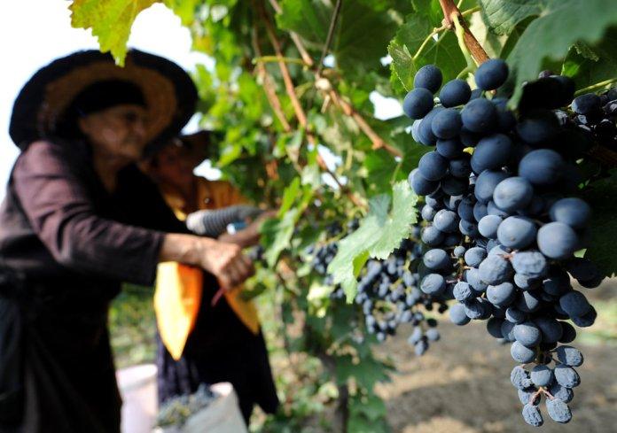 Уборка винограда Саперави