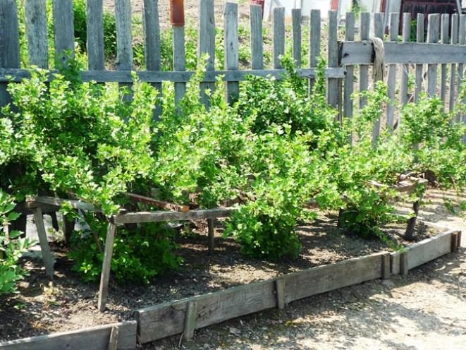 Кусты смородины растущие на освещенном месте