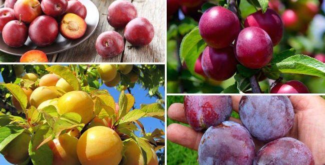 Различные сорта сливы имеют свой вкус и цвет