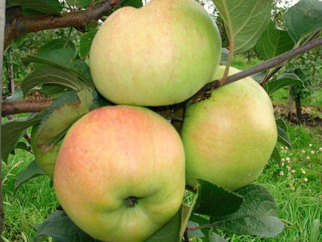 Зимний сорт яблок Богатырь