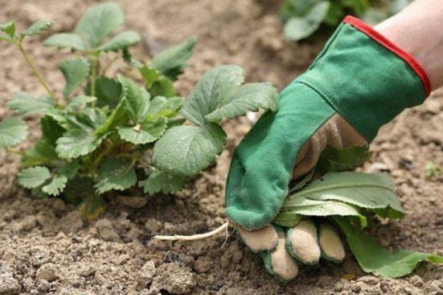 Дальнейший уход за клубникой обеспечит в будущем хороший урожай