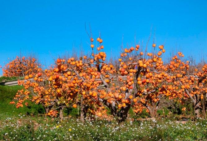 Дерево хурмы не вырастает высоко вверх, а разрастается словно кустарник