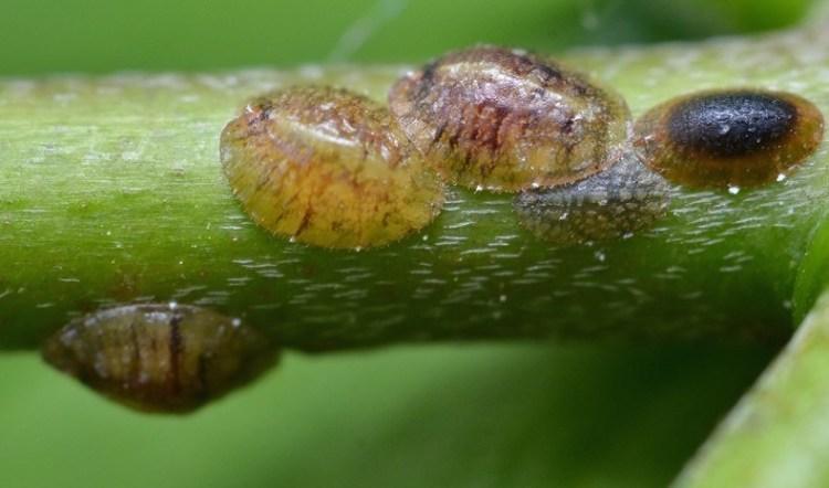 Личинки ложнощитовки