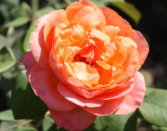 Цветение бенгальской розы