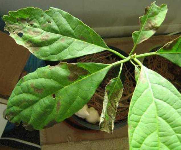 Щитовка на листьях авокадо