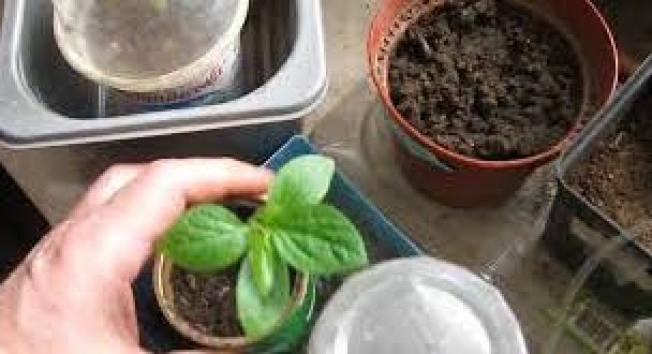 Небольшие ростки хурмы поливают капельным путем