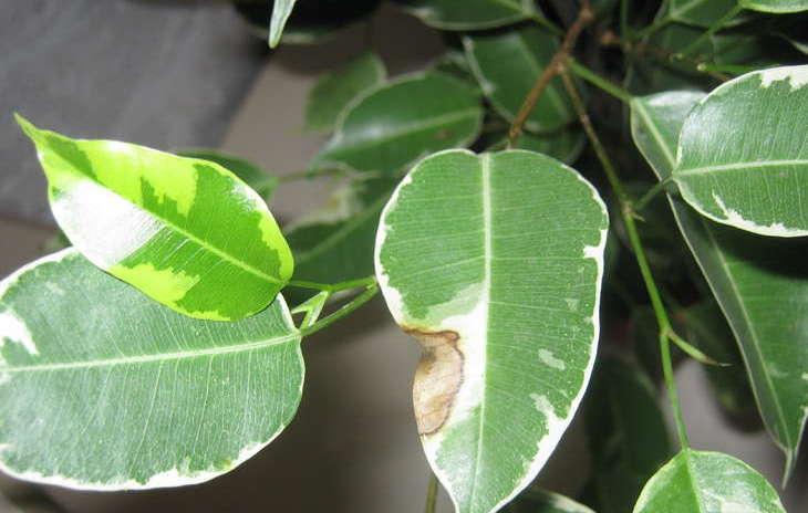Болезненные пятна на листьях растения