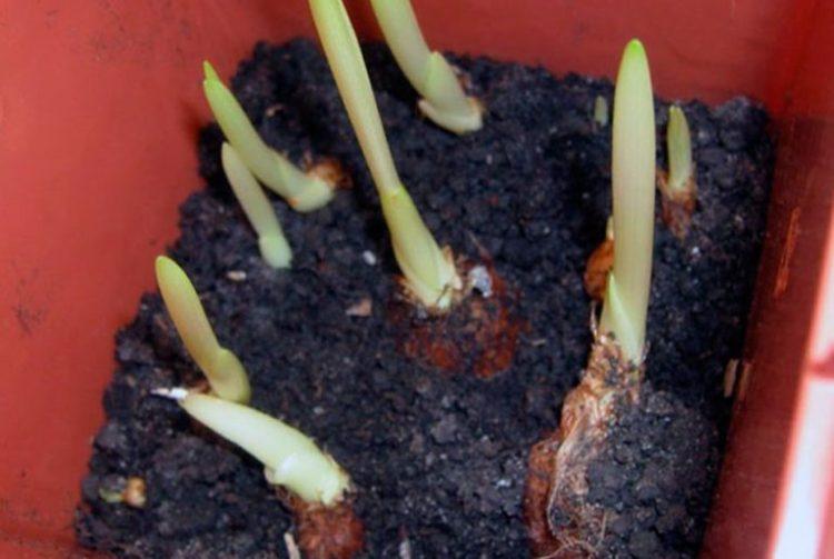 Проросшие луковицы фрезии