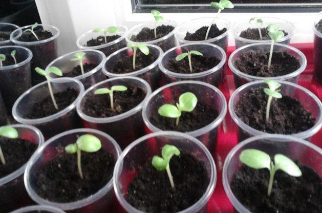 Пересаженные ростки бальзамина