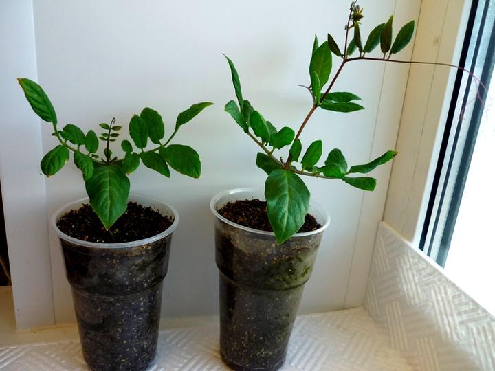 Окрепшие ростки кобеи