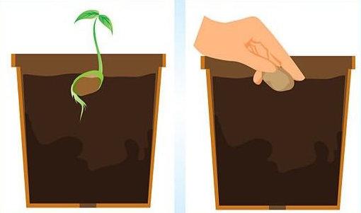 Иллюстрация посадки косточки манго