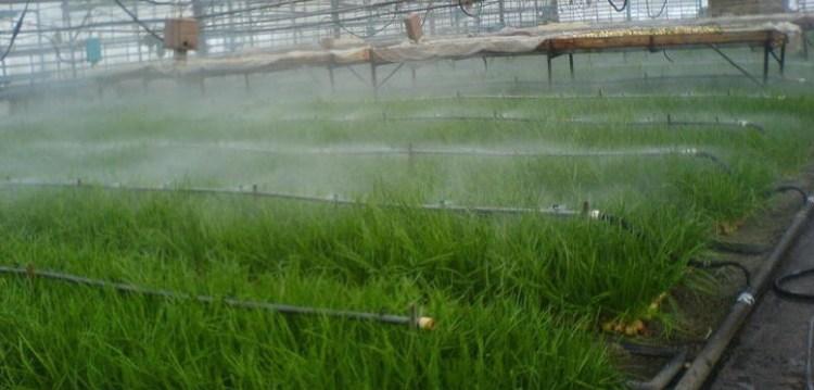 Промышленный полив лука в теплице