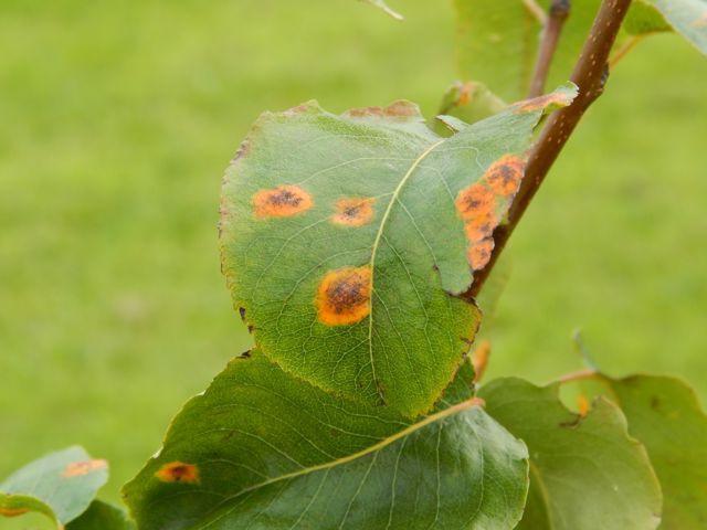 Пятна на листьях груши