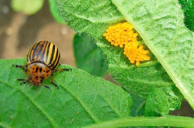 Яйца колорадского жука